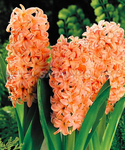 Гиацинты цветы луковичные и