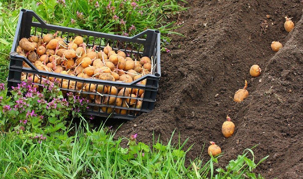 Выращивание картофеля - от посадки до уборки