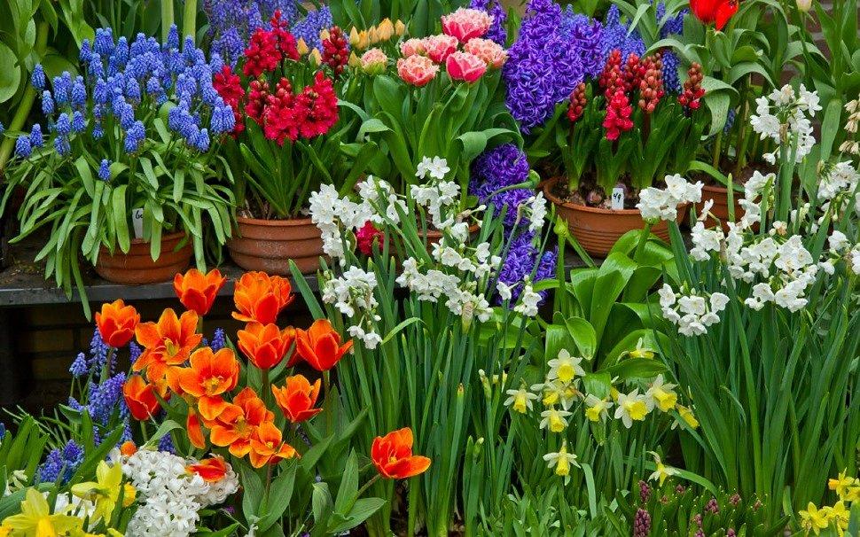 Посадка луковичных и клубнелуковичных цветов