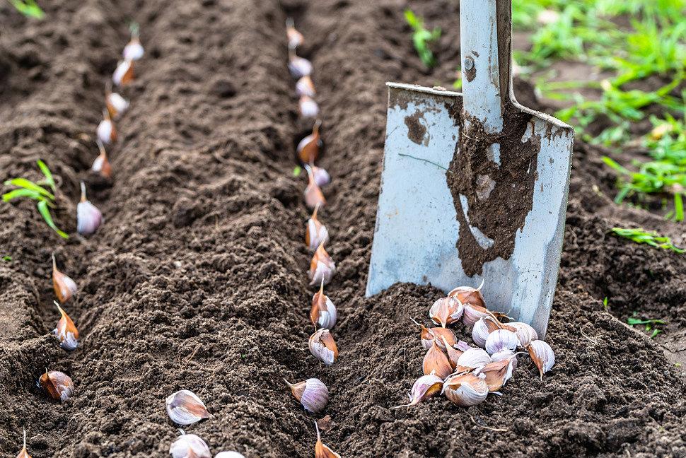 Выращивание крупного чеснока. О чем нужно знать?