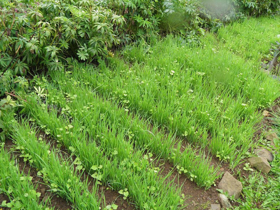 Выбор растений для сидерации