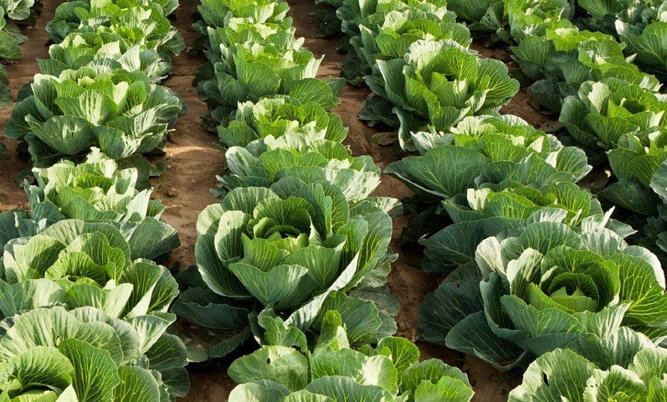 Посадка белокочанной капусты