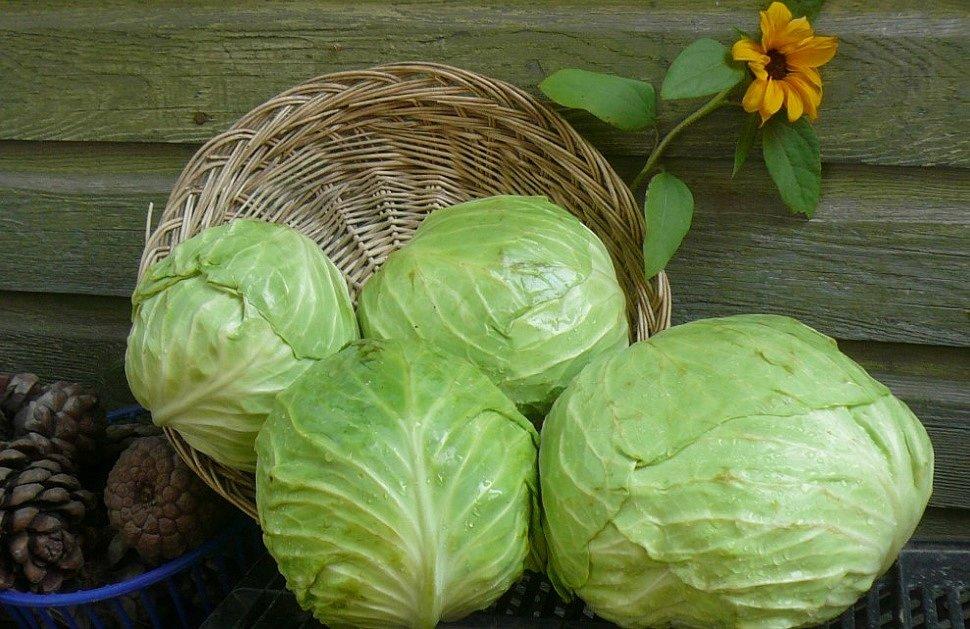 Сбор урожая белокочанной капусты