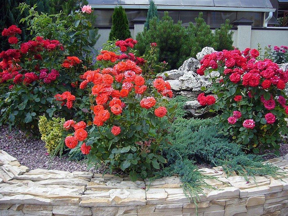 Как вырастить розы на дачном участке