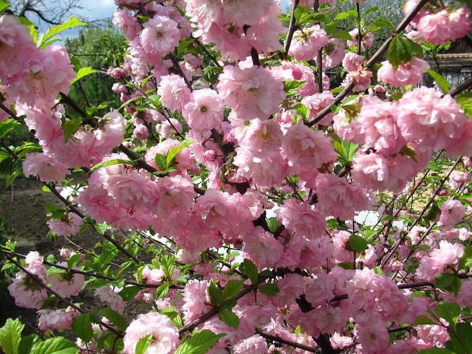 Цветения миндаля