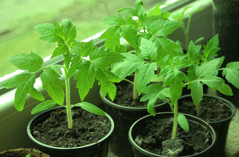 Работа с рассадой томатов
