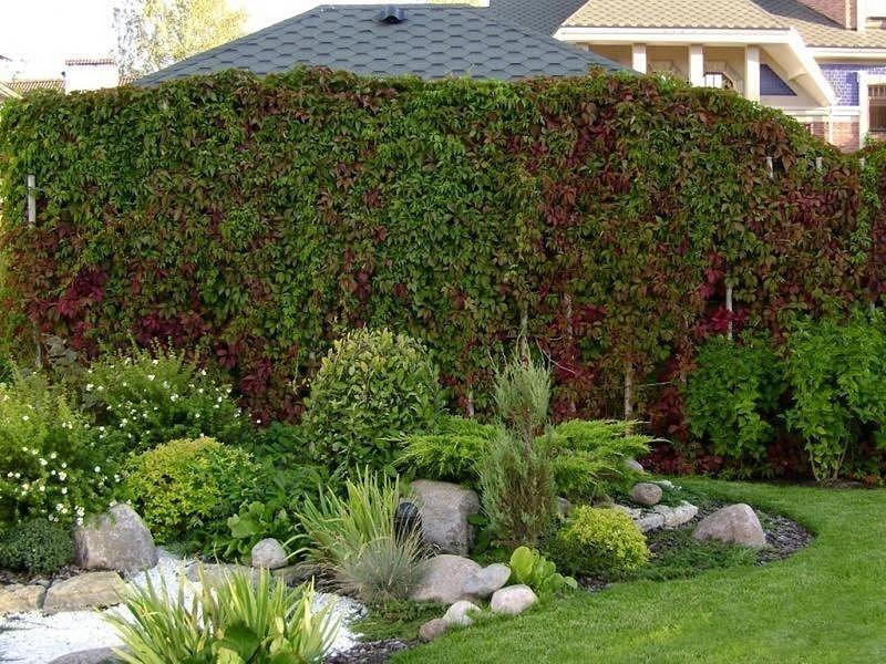 Изгородь из растений на даче