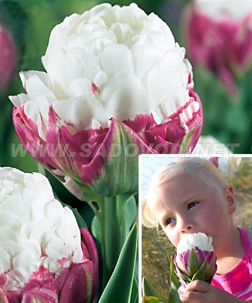 Тюльпан эксквизит фото