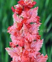 Королевские лилии фото цветов